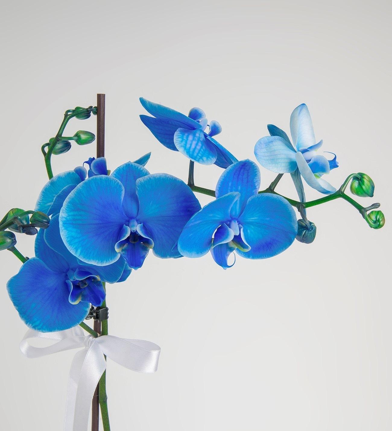 Orquidea Azul En Diseno Minimalista Sobre Maceta Blanca