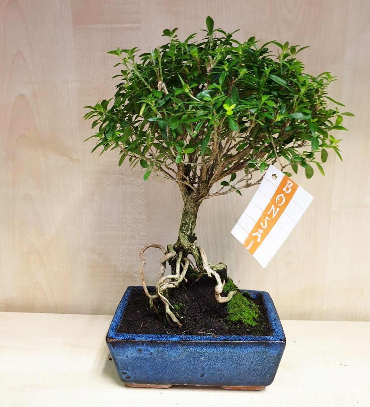 Bonsai Serissa Phoetida In A Lovely Planter From Lolaflora