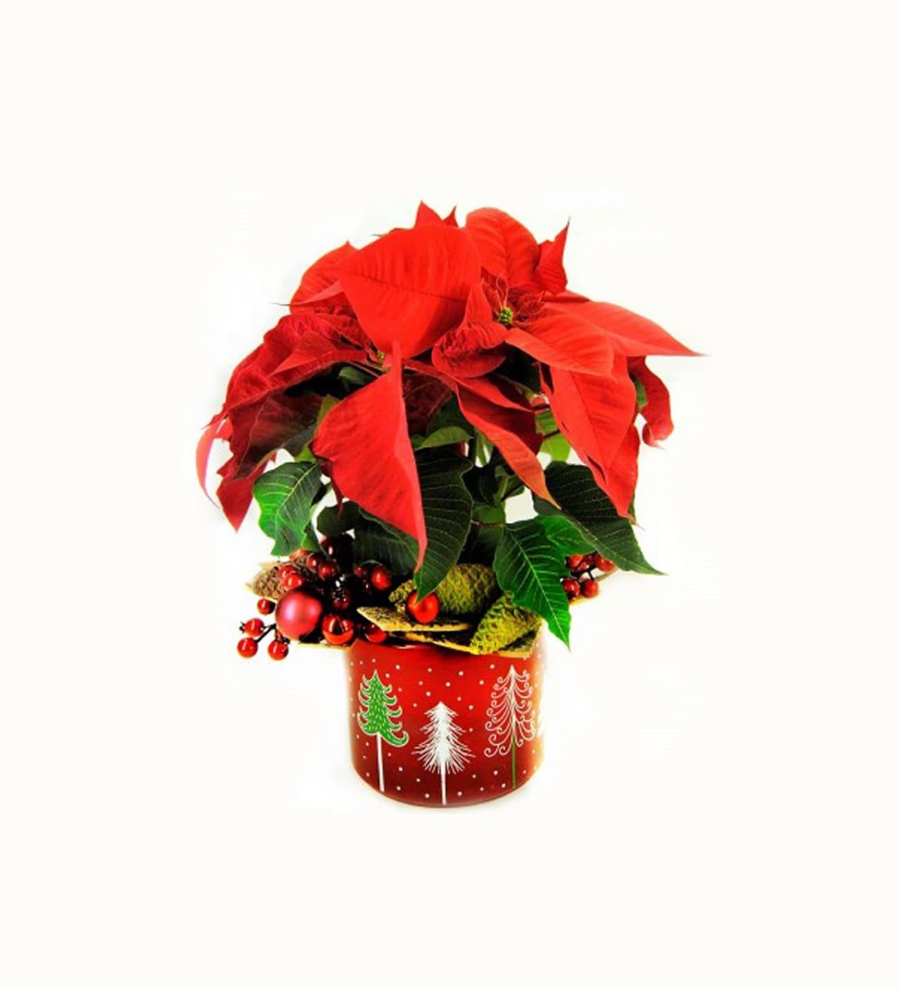 Poinsettia with ceramic base and extra gift