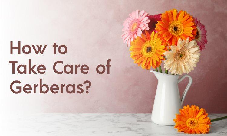 care of gerbera